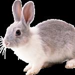 Можно ли держать кроликов за уши?