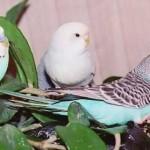 Как научить волнистого попугая разговаривать?