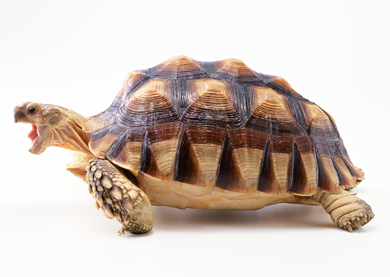 Объявление отдам черепаху г.ульяновск продажа недвижимости в тульской области частные объявления