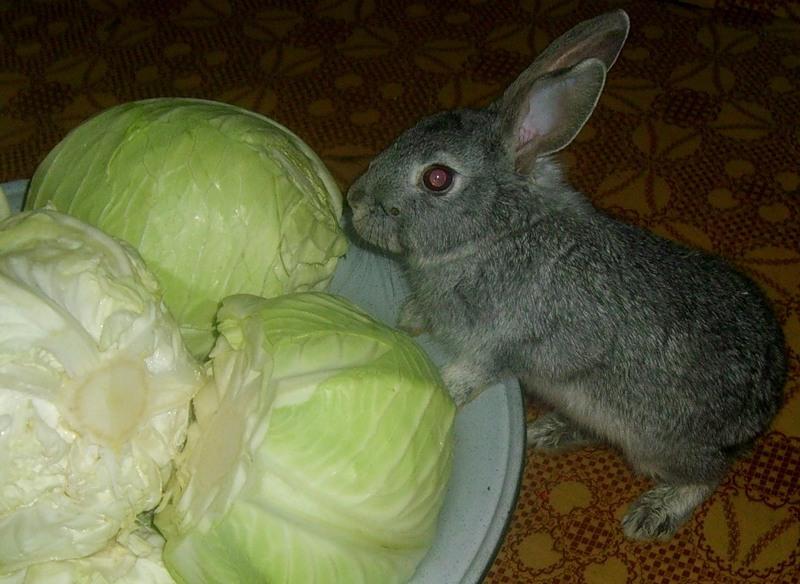 кролик с капустой