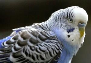 Как определить возраст волнистых попугаев