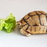 Чем кормить черепаху нельзя. Вредный корм