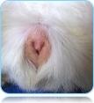 Пол морской свинки-девочки