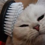 Как ухаживать за шерстью вашей кошки