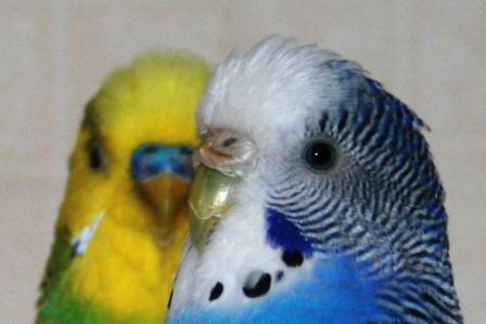 как отличить самца попугая от самки фото