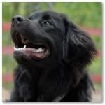 Особенности собаки породы ньюфаундленд