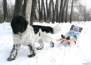 Особенности собак породы ньюфаундленд