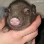 Мини-пиги – декоративные свинки