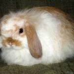 Породы карликовых кроликов с фотографиями