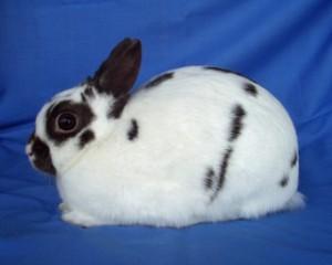 Американский польский кролик