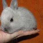 Кто такие — домашние карликовые кролики?
