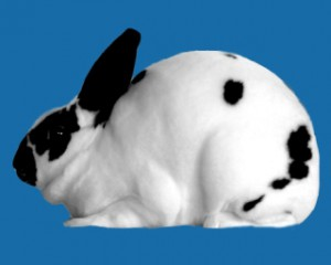 Кролик мини-рекс