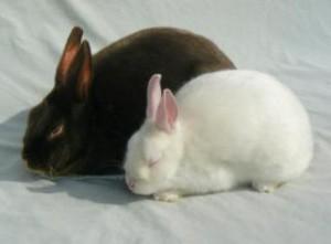 Карликовый сатиновый кролик