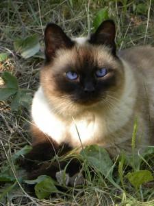 Сиамская кошка - до чего же хороша!