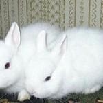 Разведение декоративных кроликов. Окрол