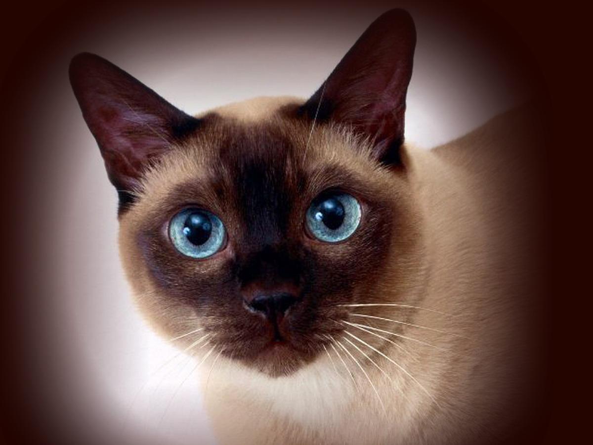 Сиамские кошки — до чего же хороши