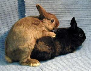 Процесс спаривания декоративных кроликов