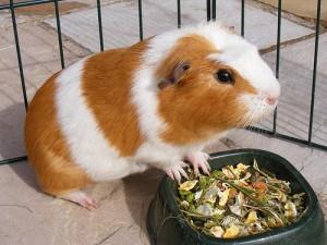 Содержание и уход за морскими свинками