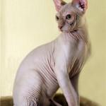 Канадский сфинкс – кошка с другой планеты?