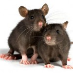 Декоративная крыса. Особенности ухода