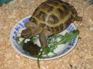 Корм для черепахи