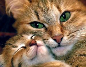 Размножение кошек