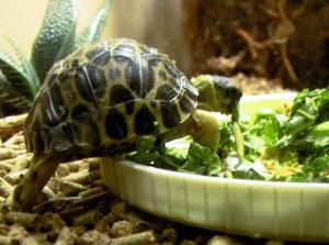 Растительный корм для черепахи