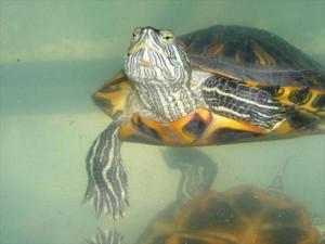Отдать красноухую черепаху