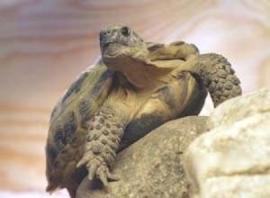 Как покупать черепаху