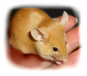 Сатиновые декоративные крысы
