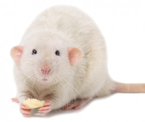Чем кормить декоративную крысу