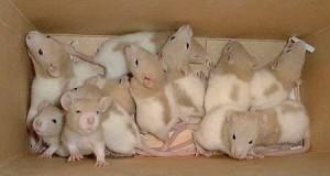 Разведение декоративных крыс