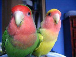 Как определить пол попугаев неразлучников