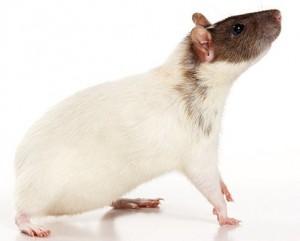 Бесхвостые крысы