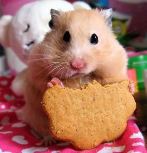 Чем кормить хомячка нельзя