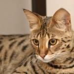 Саванна — большая кошка