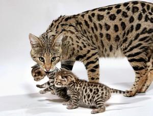 Саванна с котятами