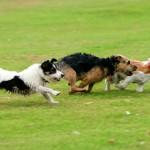 Если щенок убегает на прогулке от хозяина
