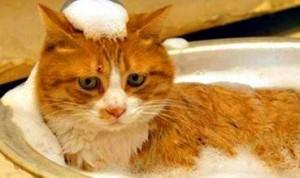 купаем кошку