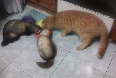 хорьки и кошка
