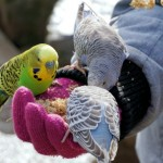 Как приручить попугая?