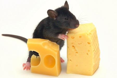 Приручение декоративной мышки