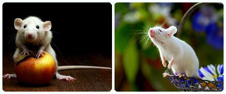 как приручить декоративной мышки