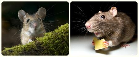 как приручить декоративную мышку